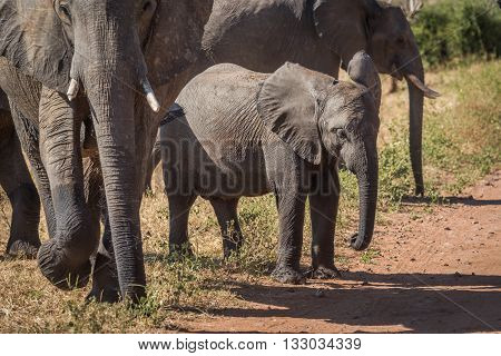 Baby elephant waiting to cross dirt track