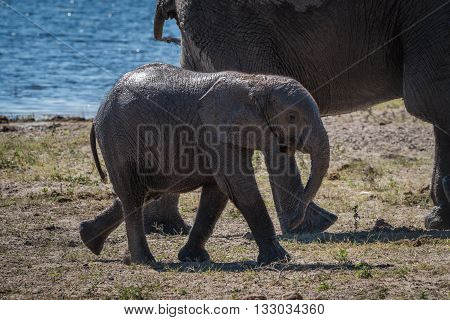Baby elephant walking behind mother beside river