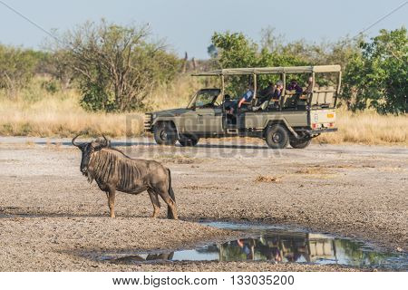 Blue wildebeest beside puddle with jeep behind