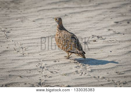Burchell's sand grouse on sand with footprints