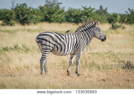 Burchell's zebra with yellow-billed oxpecker on back