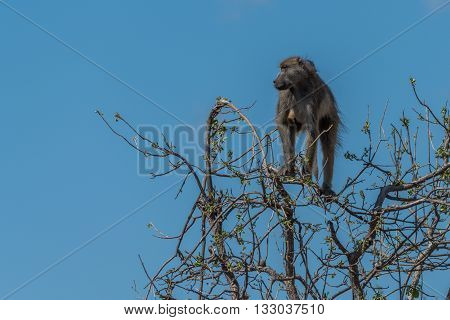 Chacma baboon in tree against blue sky