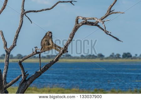 Chacma baboon sitting in tree by river