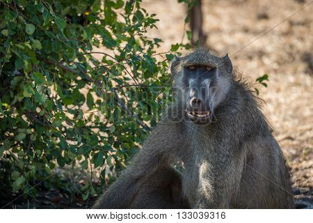 Close-up of chacma baboon with open mouth