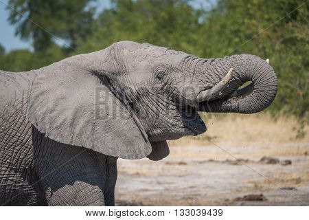 Close-up of elephant drinking with trunk raised