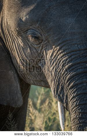 Close-up of elephant head in golden light