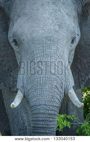 Close-up of elephant staring straight at camera