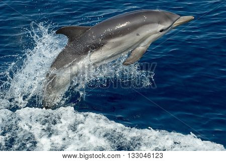 striped dolphin jumping outside the sea close up