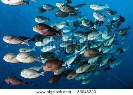Parrot School Of Fish Portrait In Maldives
