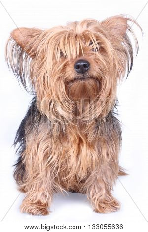 portrait of a little yorkshire terrier standing on a white background