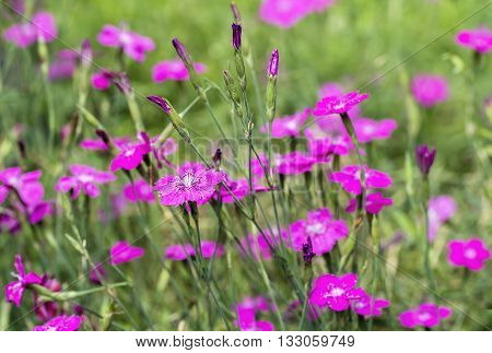 macro Dianthus deltoides is the only one which forms