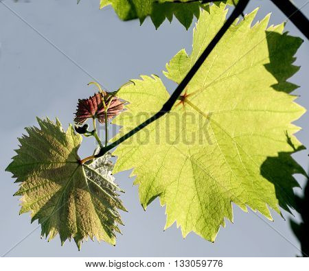 grape branch with young leaflets and tendrils blossom