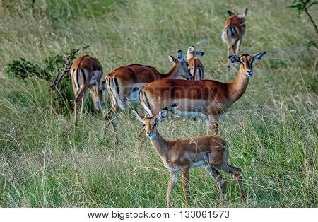 Group of Antilope crowd in Kenya Africa