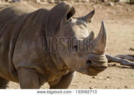 The Southern White Rhino is the second largest land mammal. They are grazers, found on the grassy savannahs of Southern Africa.