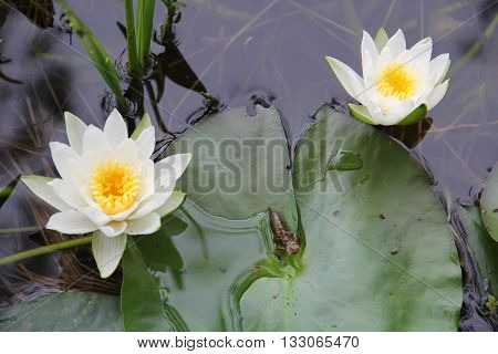 Dragonfly larvae on water lily pads between flowers. Dragonfly nymphs living in pond.