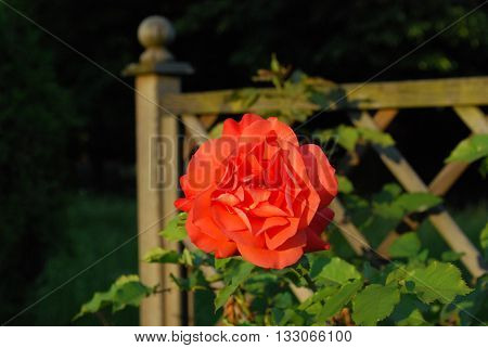 Rose-the most delicate flower of all that we know
