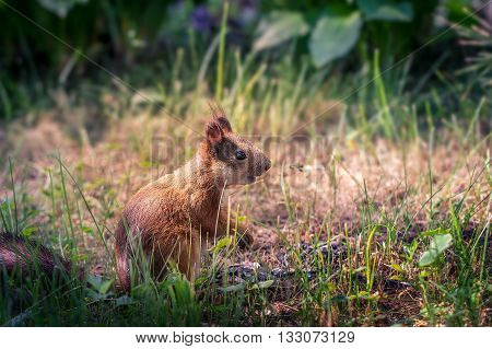 Young  Squirrel In The Park