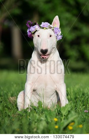 white english bull terrier dog in a flower crown