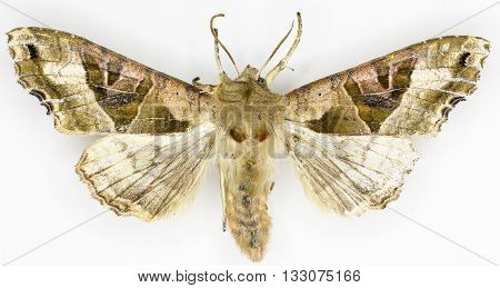 The Angle Shades on white Background  -  Phlogophora meticulosa  (Linnaeus, 1758)