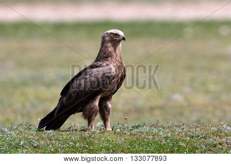 bird of prey on field in spring (aquila pomarina)