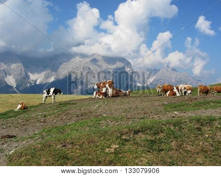 Alpine pasture with cows in foreground and view of Sesto Dolomites South Tyrol Italy in background