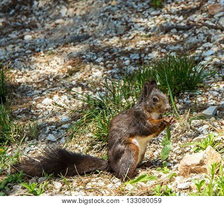 red squirrel with brown coat in Croatia eastern europe