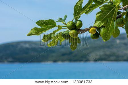 figs ripening in the sun on a tree in Croatia