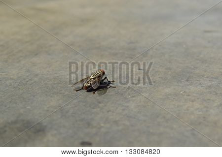 A rare species of Indian housefly which has red eyes and bigger in size than normal one.
