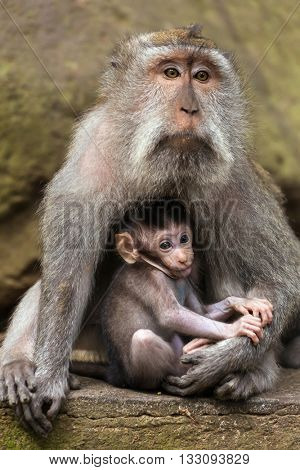 Love care maternity concept. Small baby with mother rhesus macaque monkeys