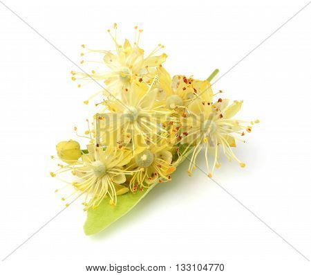 Linden flowers isolated on a white background.