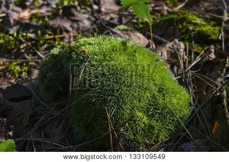 beautiful and unusual green moss growing in the summer forest