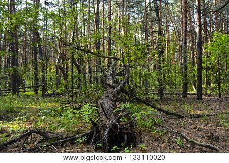felled in a forest of pine trees after a heavy wind