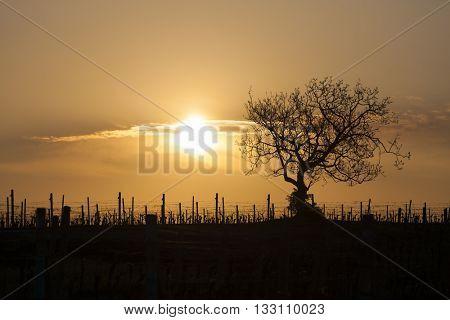 vineyard with tree near Velke Bilovice, Czech Republic