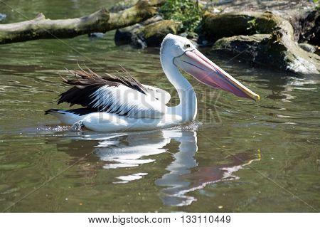 Pelican (pelecanidae)