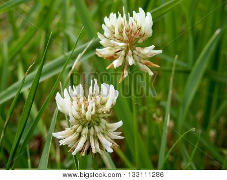 White Clover (Trifolium repens) growing wild in a field. Common name also Dutch Clover
