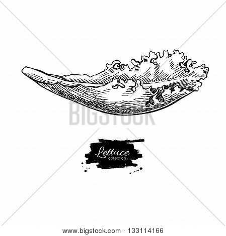 Lettuce hand drawn vector. Vegetable engraved style illustration. Isolated Lettuce salad. Detailed vegetarian food drawing. Farm market product.