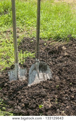 Shovels stuck in manure in farm yard