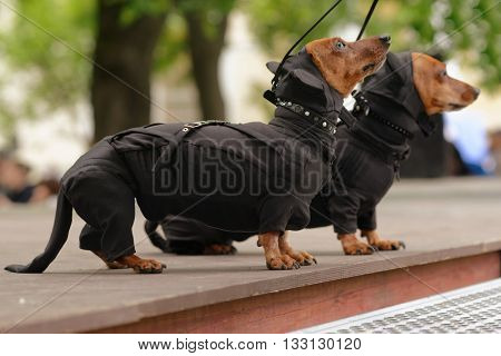ST. PETERSBURG, RUSSIA - MAY 28, 2016: Dogs in costumes of Catwomen during Dachshund parade. The traditional festival is timed to the City day