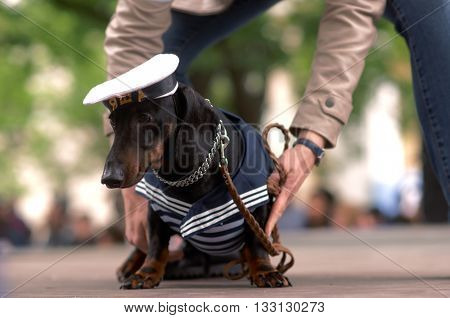 ST. PETERSBURG, RUSSIA - MAY 28, 2016: Woman with her dog in costume of seaman during Dachshund parade. The traditional festival is timed to the City day