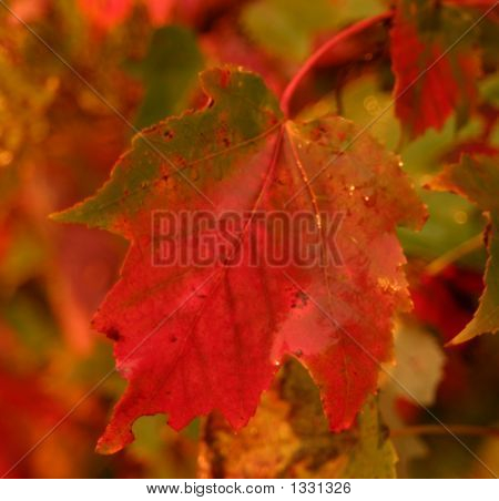 Fall Sugar Maple