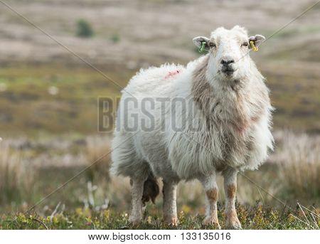 Furry Sheep Among Hilly Walesh Landscape Close Up