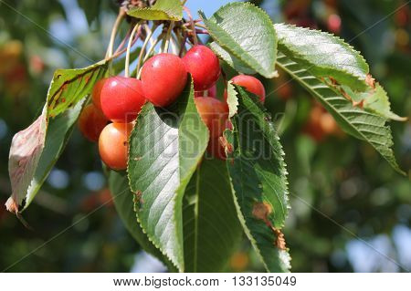 lovely cherry bunch getting ready and tender