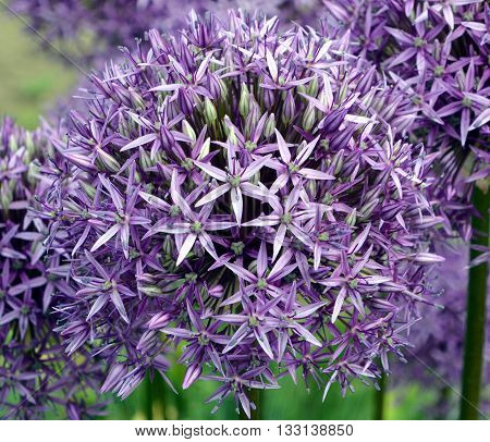 The onion genus Allium comprises monocotyledonous flowering plants and includes the onion, garlic, chives, scallion, shallot, and the leek as well as hundreds of wild species.