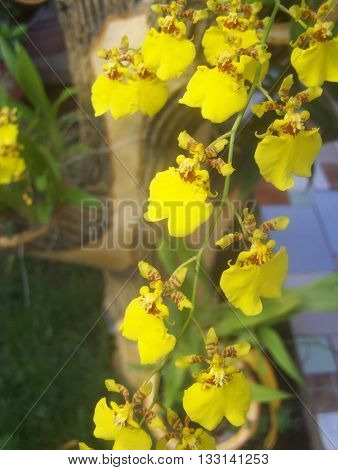 Yellow Tropical Orchid flower vine background abstract