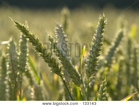 Wheat 4