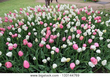 Pink and white tulips at early spring