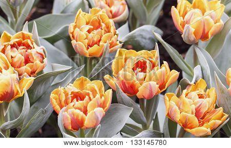 Tulip. Beautiful bouquet of tulips. colourful tulip