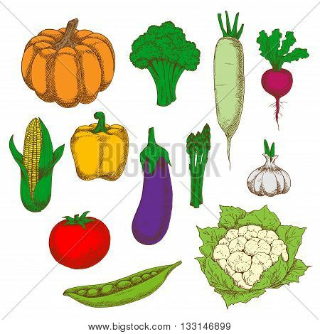 Dietary vegetables sketches for healthy eating design with fresh tomato, eggplant and broccoli, corn, bell pepper and pumpkin, peas and cauliflower, daikon and asparagus, garlic and beet