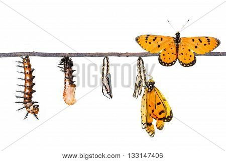Life cycle of Tawny Coster transform from caterpillar to butterfly on white poster