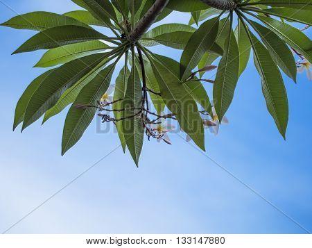Frangipani Plumeria flowers border Design, background blue sky